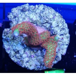 Montipora samarensis - 4-5cm