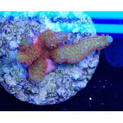 Montipora samarensis - 2-3cm