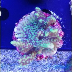 Montipora capitata - 4-5cm