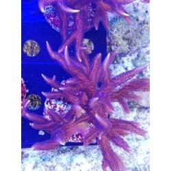 Seriatopora Hystrix - 8-10cm