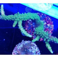 Acropora tumida 8-12cm