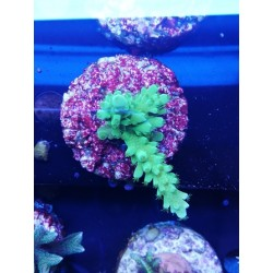 Acropora (ultra) sp.2: 3-5cm